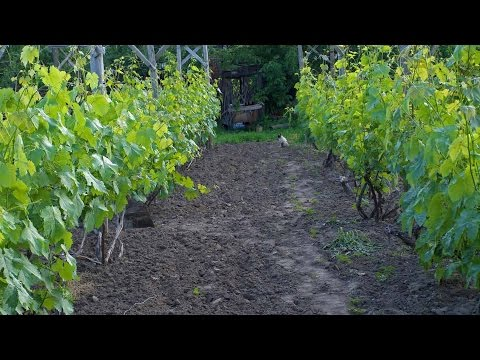 Выращивание винограда.  Уход за виноградом. ВИДЕО