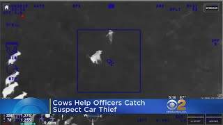 Suspected Car Thief Corralled By Cows