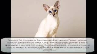 самая маленькая кошка. Порода кошек сингапура - вечный котенок.