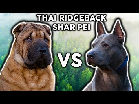 SHAR PEI VS THAI RIDGEBACK! The Best Guard Dog Breed For First Time Owners!