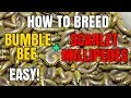 How to Breed Bumblebee and Scarlet Millipedes EASY!