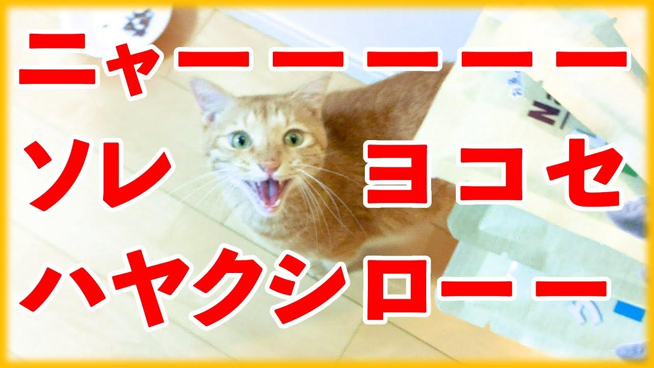 聞いたことある?猫が長い鳴き声でオヤツをくれと要求!【ナチュラハ グレインフリー まぐろ】