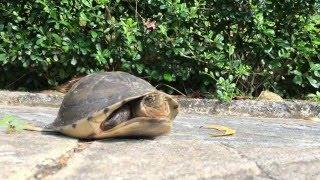 Черепаха, подготовленная к ядерной войне