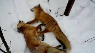 Охота с ягдтерьером на лису под фундаментом