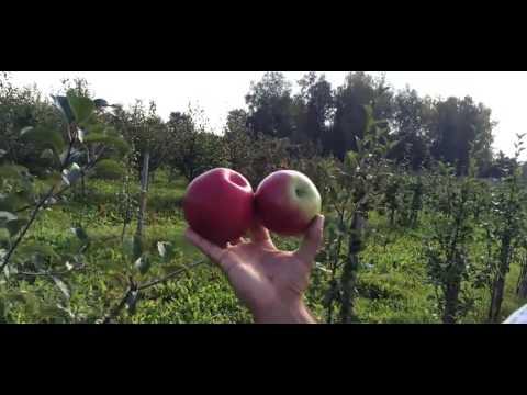 Яблоня сорт Лигол