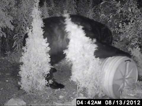 stockholm nj black  bear opens bearproof garbage can