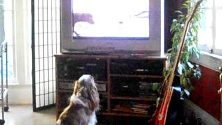 My Cavalier King Charles Spaniel, Charlie Chaplin, Watching The Puppy Bowl