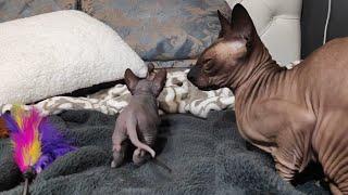 Sphynx Cat Grandma is Babysitting 5 Cute Baby Kittens
