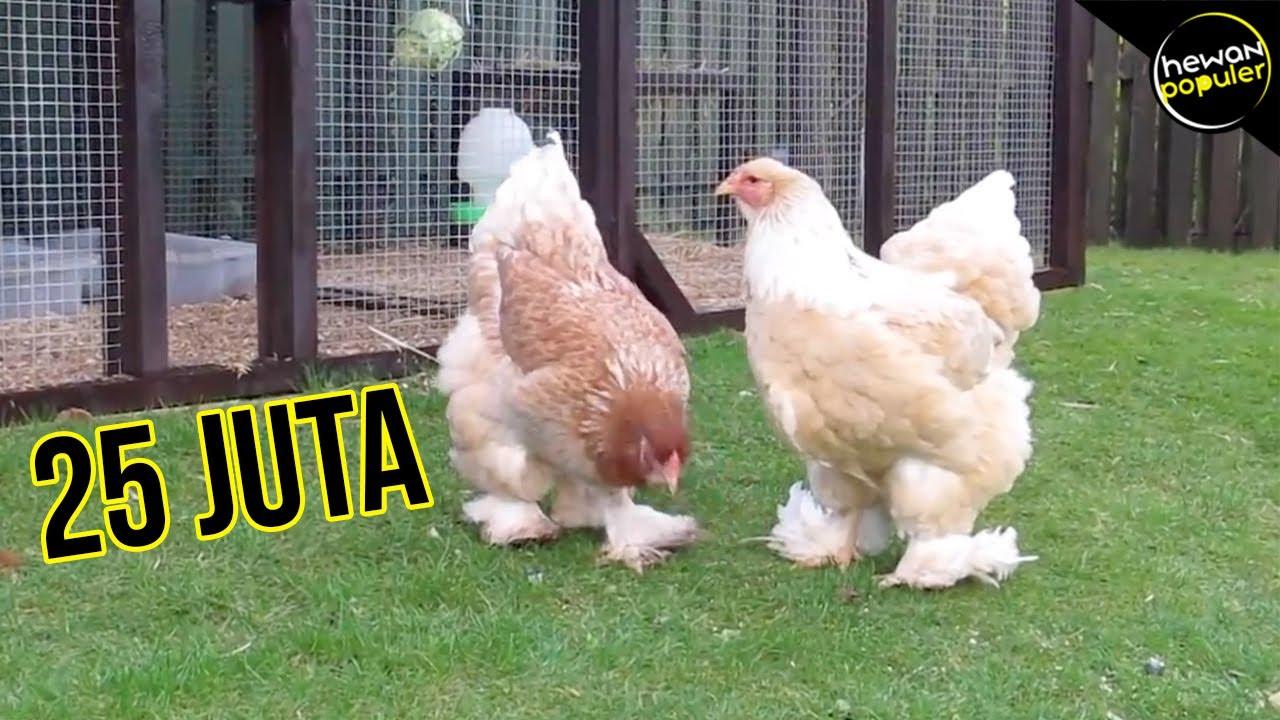 Kalo Di Jual Bisa Kaya Raya 10 Jenis Ayam Paling Langka Dan Unik Di Dunia