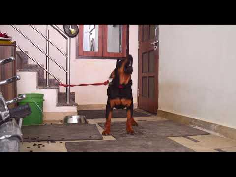 despacito : dog singing ( Rottweiler : BOLT)