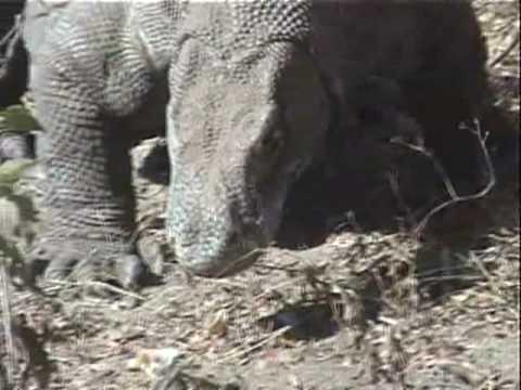 Komodo dragon - Wikipedia, the free encyclopedia