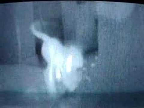 FLIR thermal infrared camera: hot kitten tracks