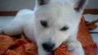カミカミ幼犬.