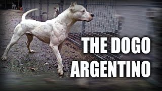 THE DOGO ARGENTINO  A QUICK LOOK AT THE HISTORY AND BREED STANDARD