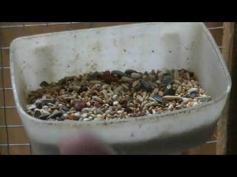 Правильное кормление волнистых попугаев. Часть 1-я зерновые корма.