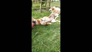 funny dog sex video by urvill Singh