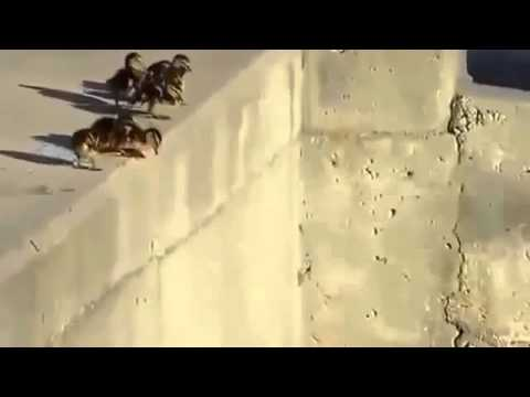 Baby Ducks Leap Of Faith Funny Animal VideosHD