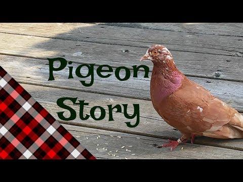Lost Homing Pigeon