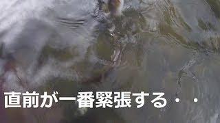 [つりよか] 仁淀川もいいのだが、今日は鏡川最強伝説の幕開け!間違いない。