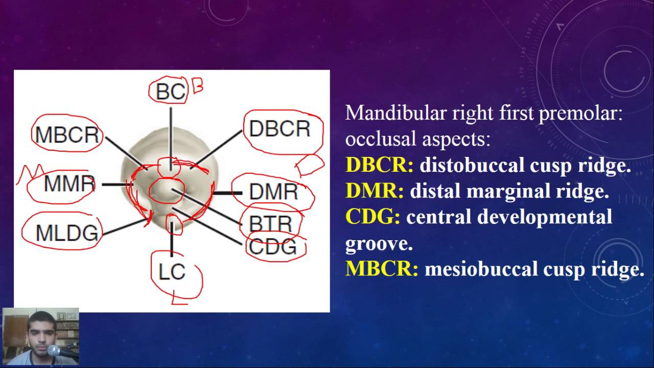 Dental anatomy at a glance, Lec 9, Mandibular first premolar - YouTube