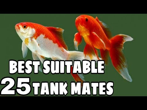 Tank Mates For Goldfish | Goldfish Tank Mates