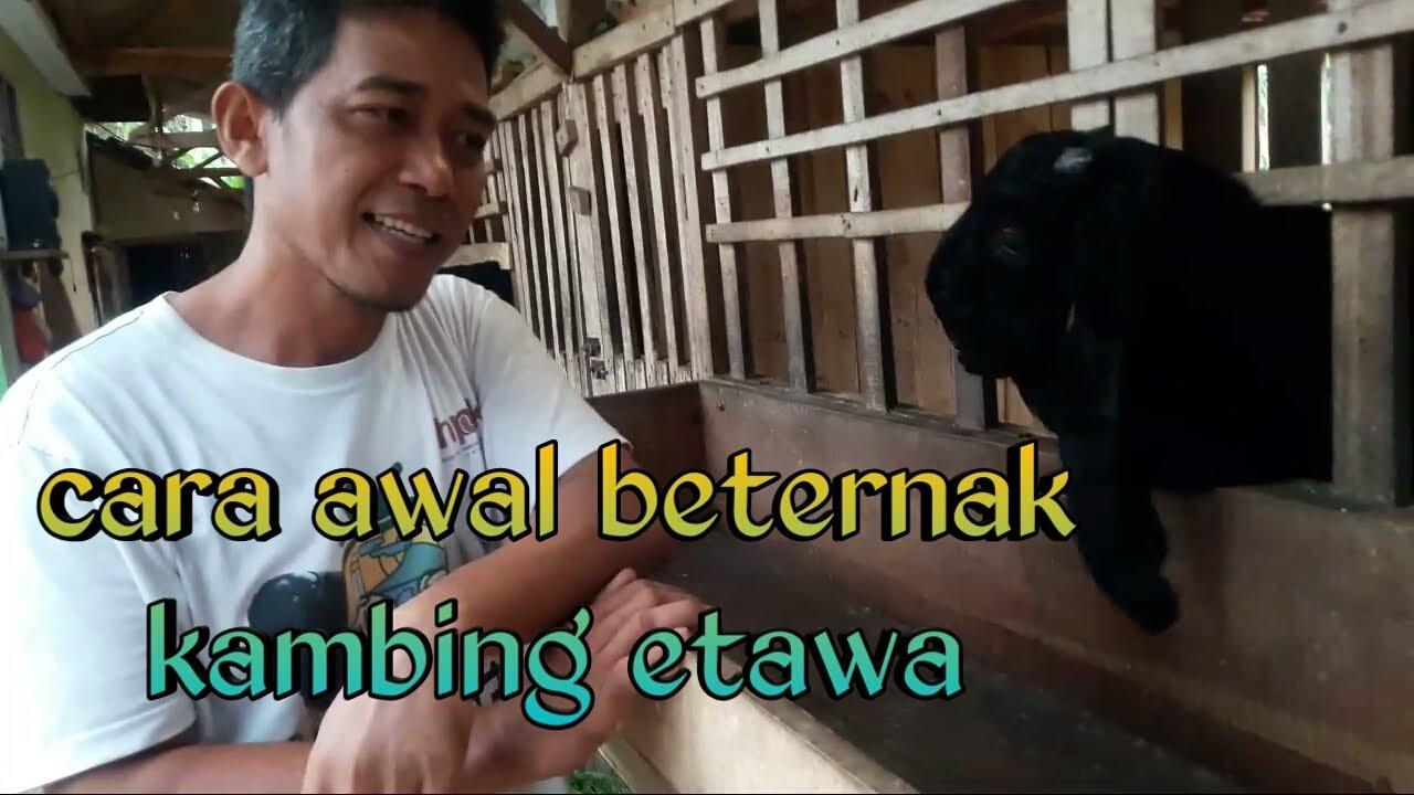 Cara awal beternak kambing etawa kaligesing - YouTube