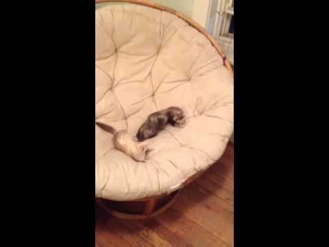 2 Ferrets And A Papasan Chair