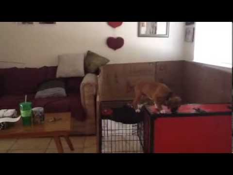 New Boxer puppy escapes!!