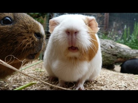 Guinea pigs in Ho Chi Minh city zoo Vietnam