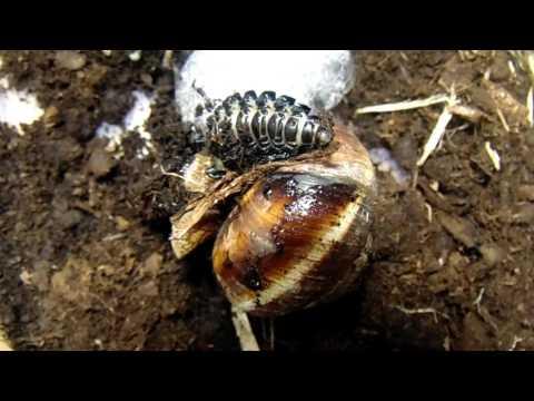Охота личинки Жужелицы кавказской (лат. Carabus Caucasicus) на Виноградную улитку. Нелегкая добыча)