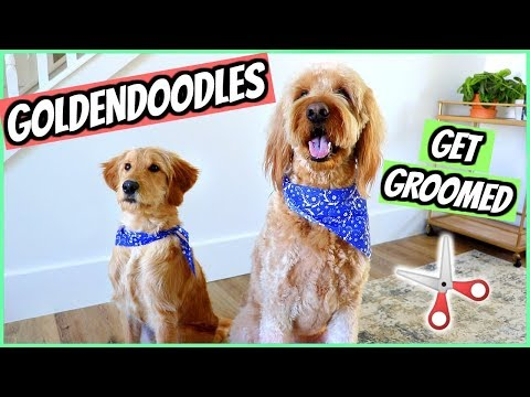 PUPPY'S FIRST GROOMING APPOINTMENT! GOLDENDOODLES - Pet