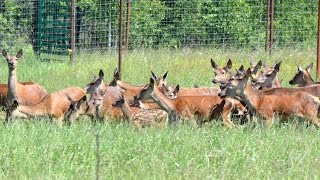 Самки оленей с телятами. Охотхозяйство Днепр-Холм
