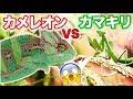 カメレオンVSカマキリ?!勝つのは…? Chameleon VS Mantis!!!
