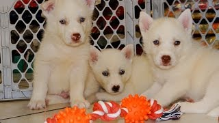Siberian Husky Puppies, For, Sale, In El, Paso, Texas, Tx, Temple, County, La, Porte, Socorro