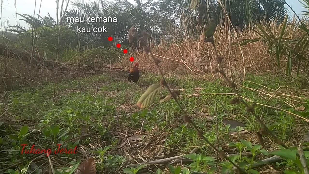 Entah apa yang terjadi dengan ayam hutan ini - YouTube