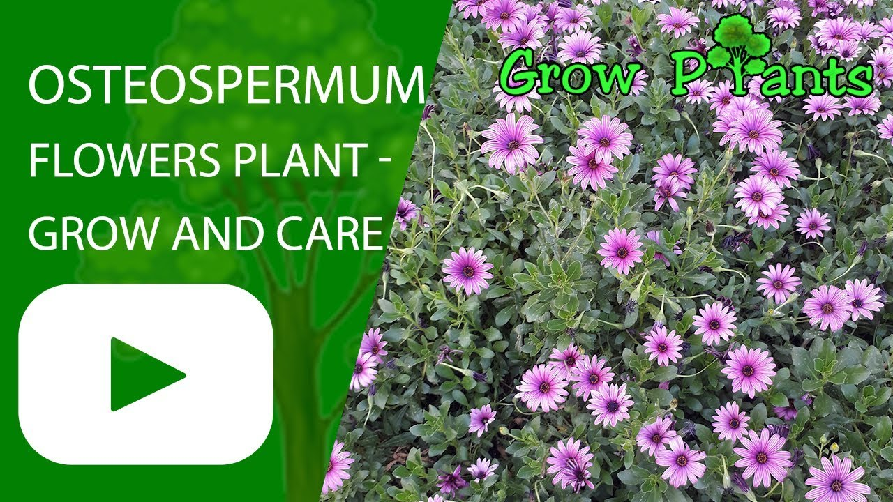 Osteospermum Flowers Plant Grow And Care Youtube