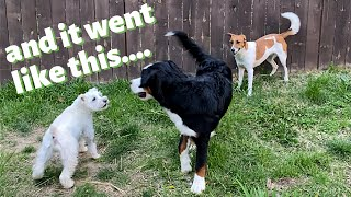 BERNESE PUPPY SPENDS A WEEK WITH MY DOGS