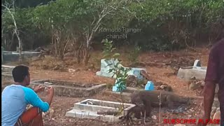 """VIRAL"""" Komodo digging for food in people's graves, And residents can only watch the hunt..."""