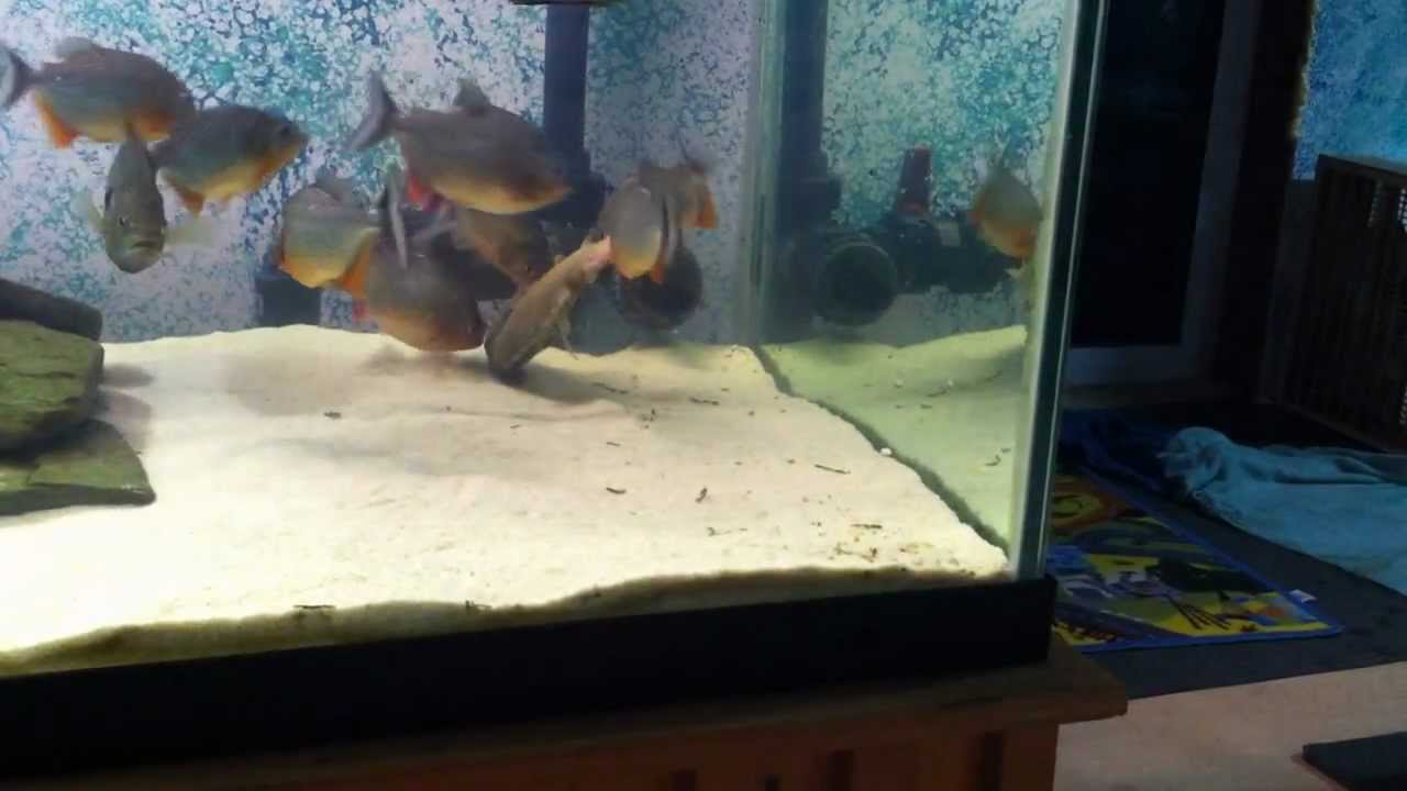 Piranha tank feeding youtube for Piranha fish tank