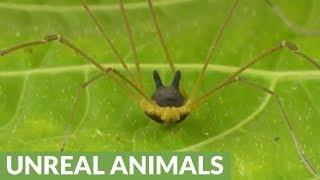 Spider in Ecuador closely resembles bunny rabbit