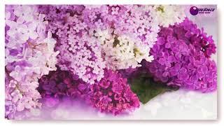 라일락 꽃이피면