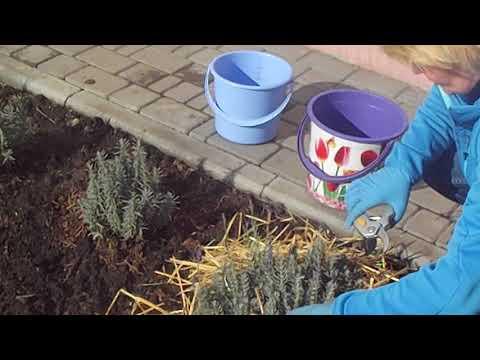 Как сохранить лаванду зимой в открытом грунте