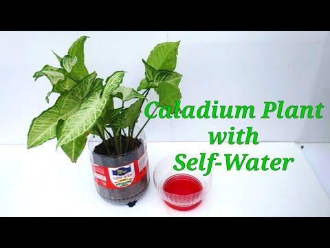 how-to-grow-beautiful-indoor-plants-caladium-|-propagation-of-caladium-with-self-water-system