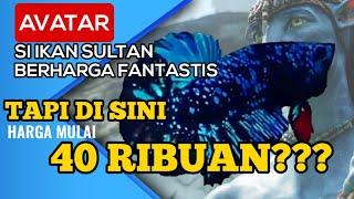 Peternak Ikan Cupang Avatar Youtube