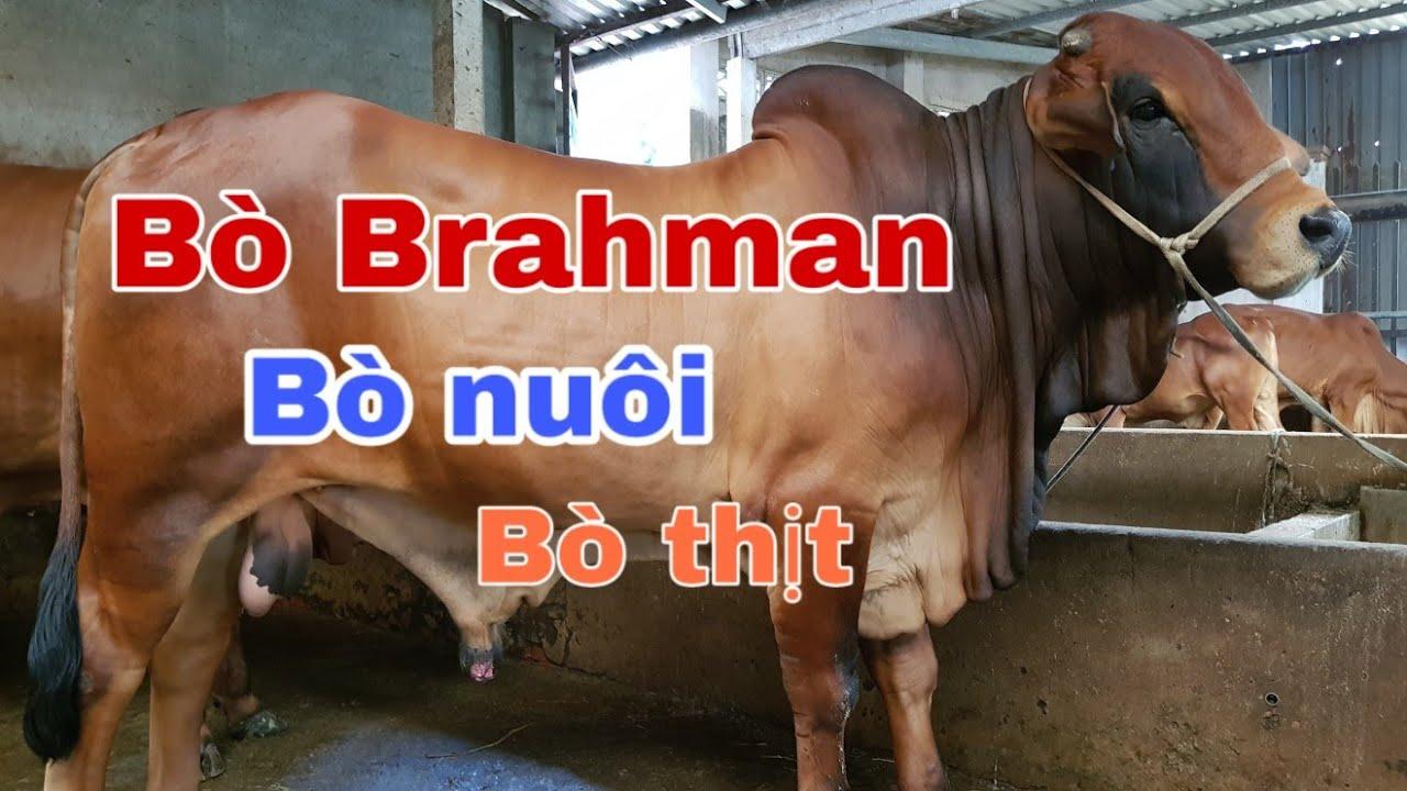 Bò nuôi, bò vỗ béo brahman, 6 bò thịt đều có cho anh em sđt: 0564099712 | gia hân vlog