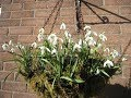 New! - How to plant a snowdrop hanging basket