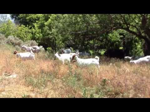 How fast do Meat Goats Graze