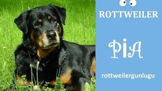 Gambar cover ROTTWEILER ATTACK PLAYING / OYUN OYNUYORUZ /Rottweiler playing with ball
