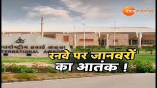 जयपुर एयरपोर्ट रनवे पर जानवरों का आतंक !
