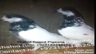 Top 20 Sialkoti Pigeons of Shahid Rajput